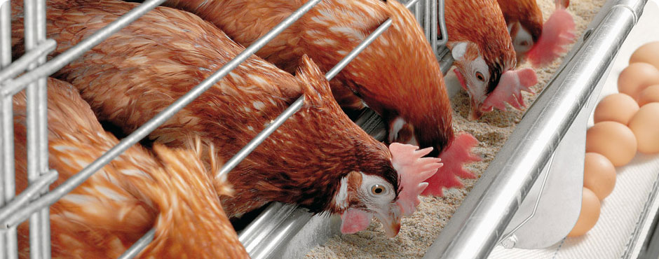 "<h1>Poultry Nutrition and Feeding</h1><p> <a href=""http://www.sjj.co.id/product-category/avimex/"">Read more »</a></p>"